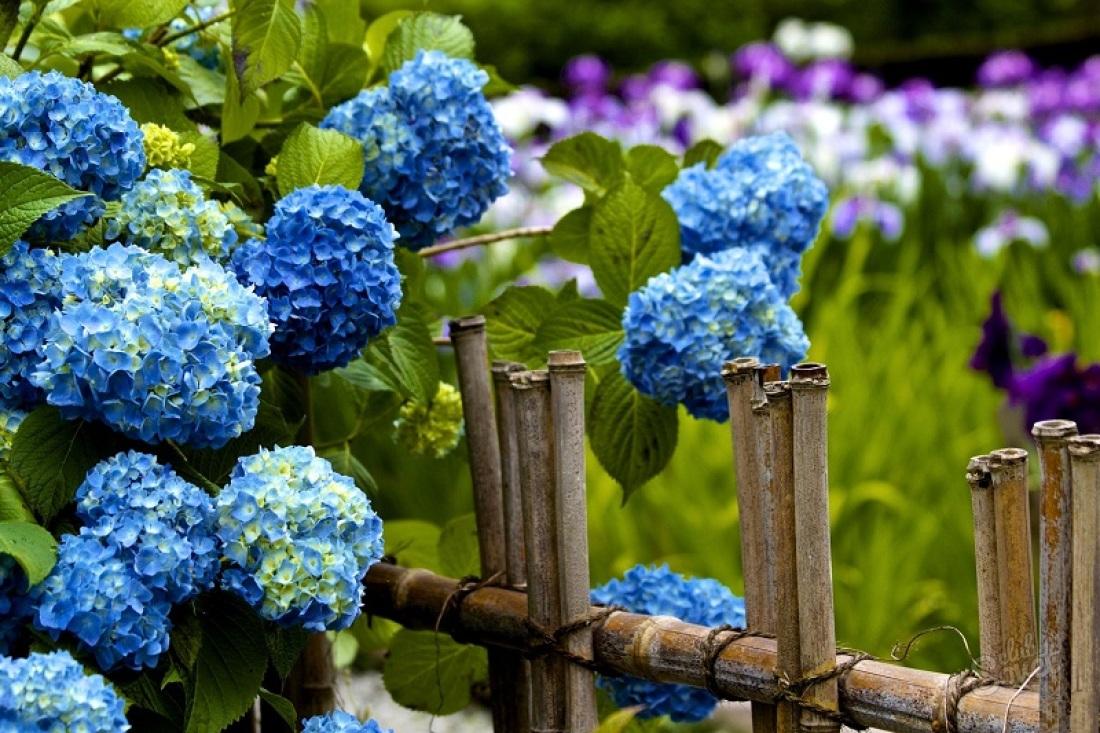 Фото цветов голубая гортензия