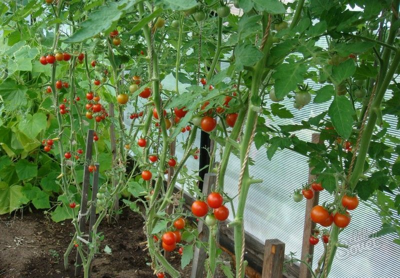 Когда сажают помидоры черри 419