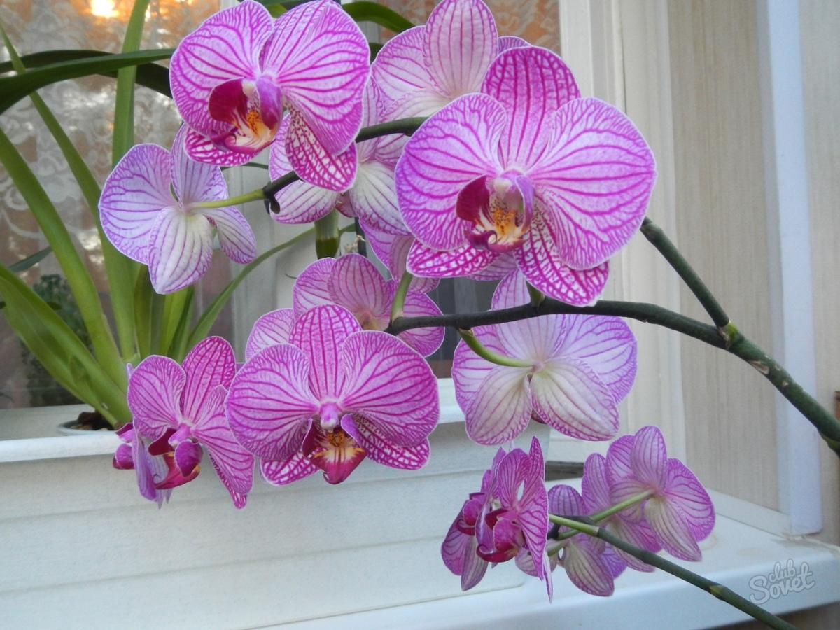 Орхидея фаленопсис домашние уход