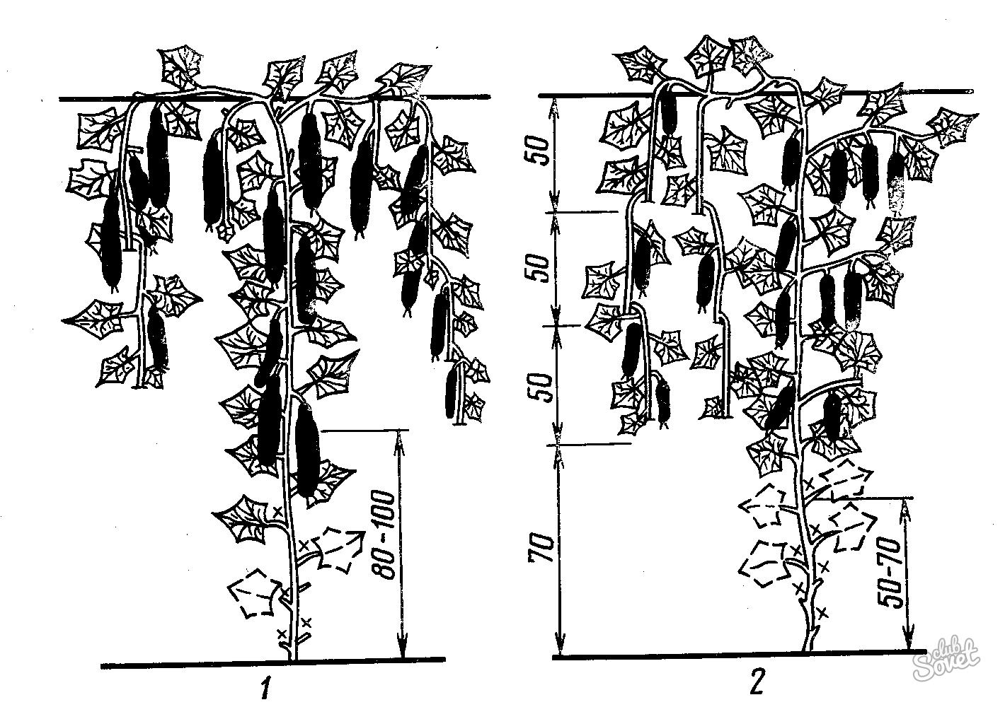Схема формирования плети огурцов в теплице