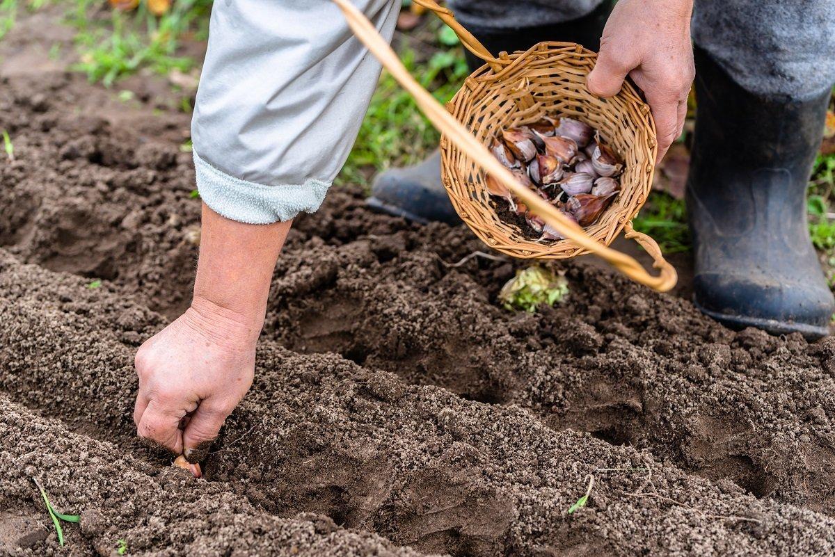 Что можно сажать осенью на огороде 238