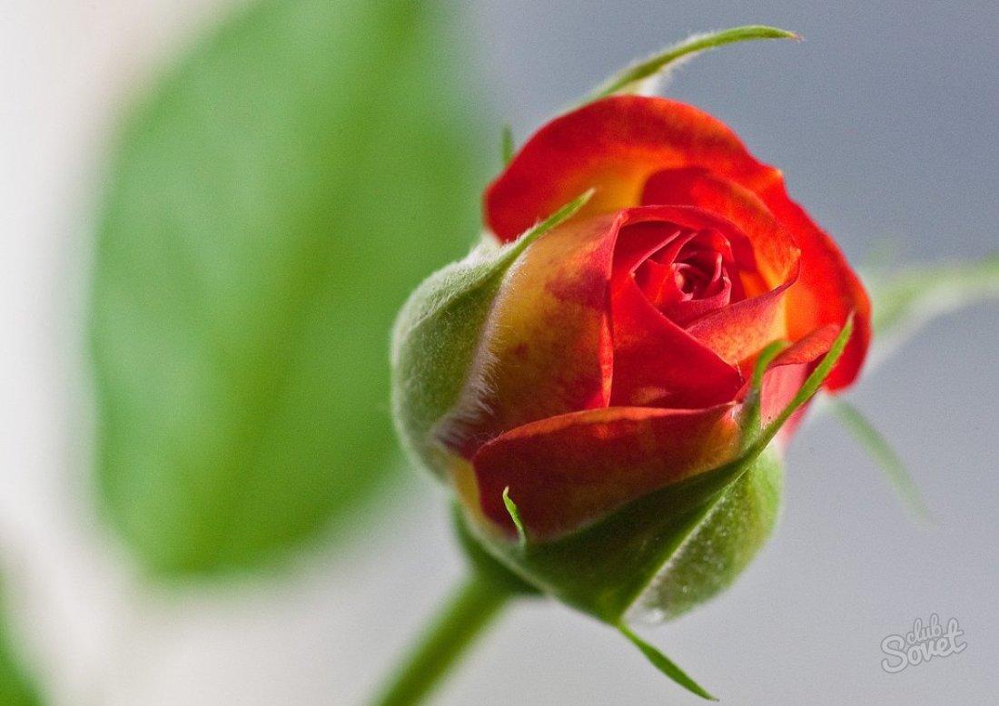 Вырастить розы из семян в домашних условиях