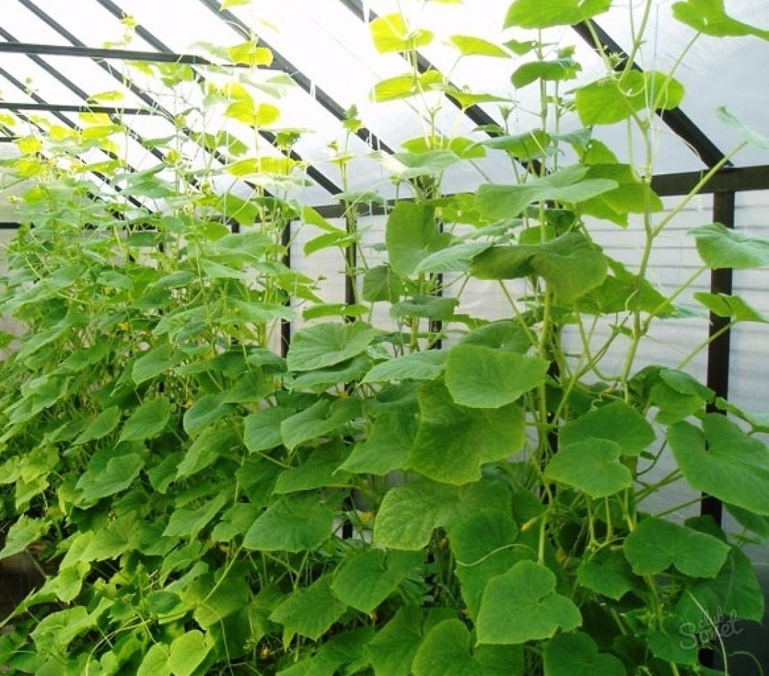 Выращивание огурцов в теплицы фото