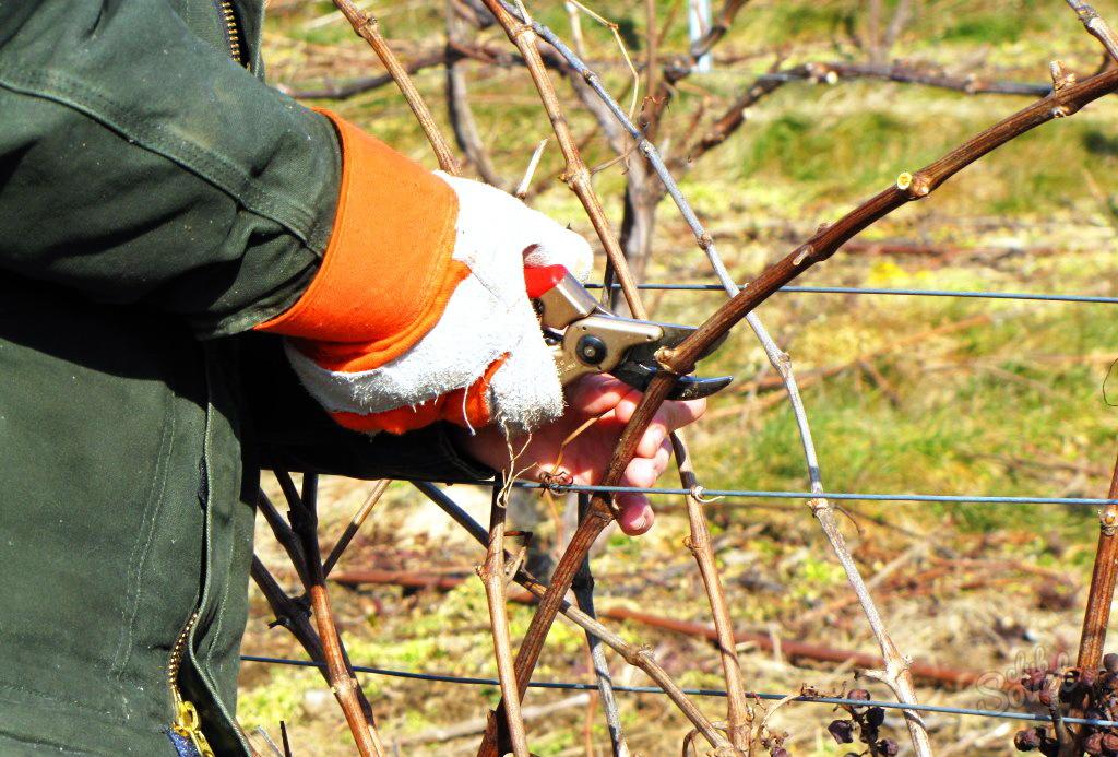 Выращивание винограда и обрезка 471