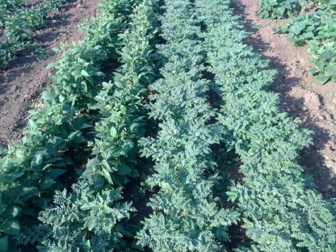 горох нут выращивание