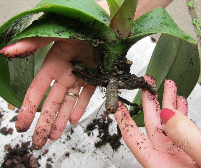 Как пересадить отростки орхидею в домашних условиях пошаговое