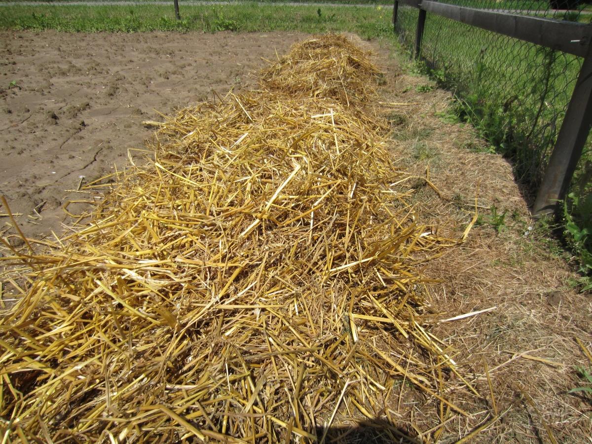 Выращивание картофеля в соломе - 3 лучших метода! 26