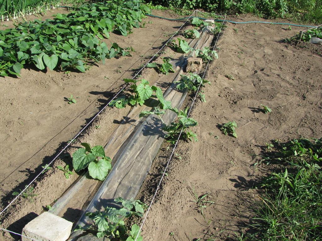 Можно ли сажать кукурузу рядом с арбузами 43