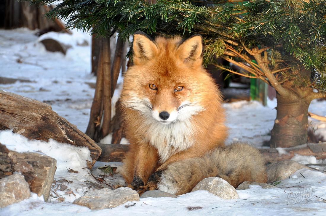 Примечательным является сон, в котором появляется лиса с лисятами.