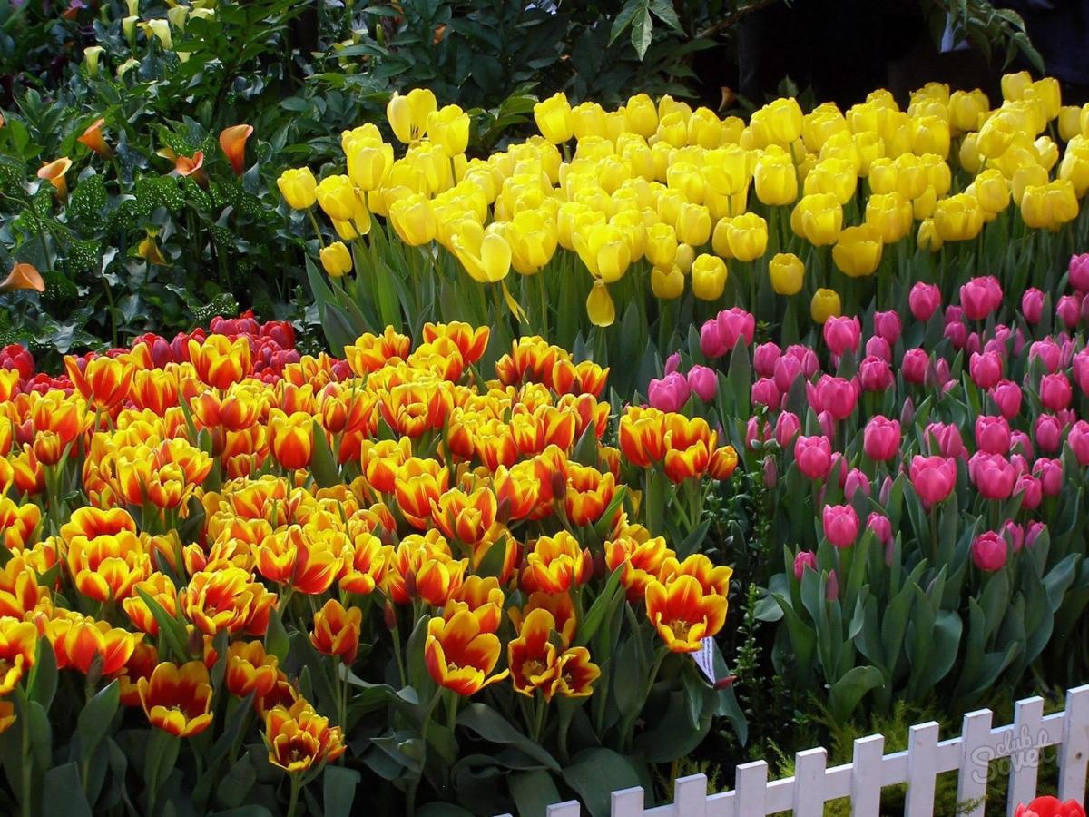 Тюльпаны на клумбе с другими цветами фото