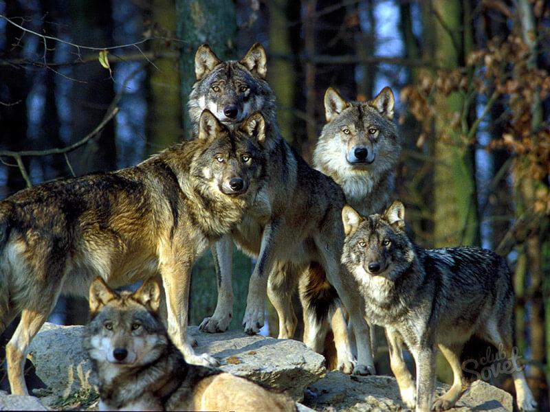 Сонник волк к чему снится женщине