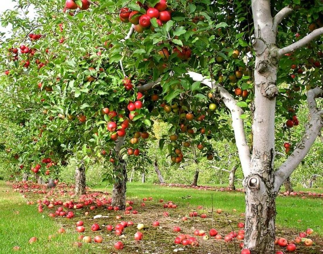 К чему сниться яблоня в цветах