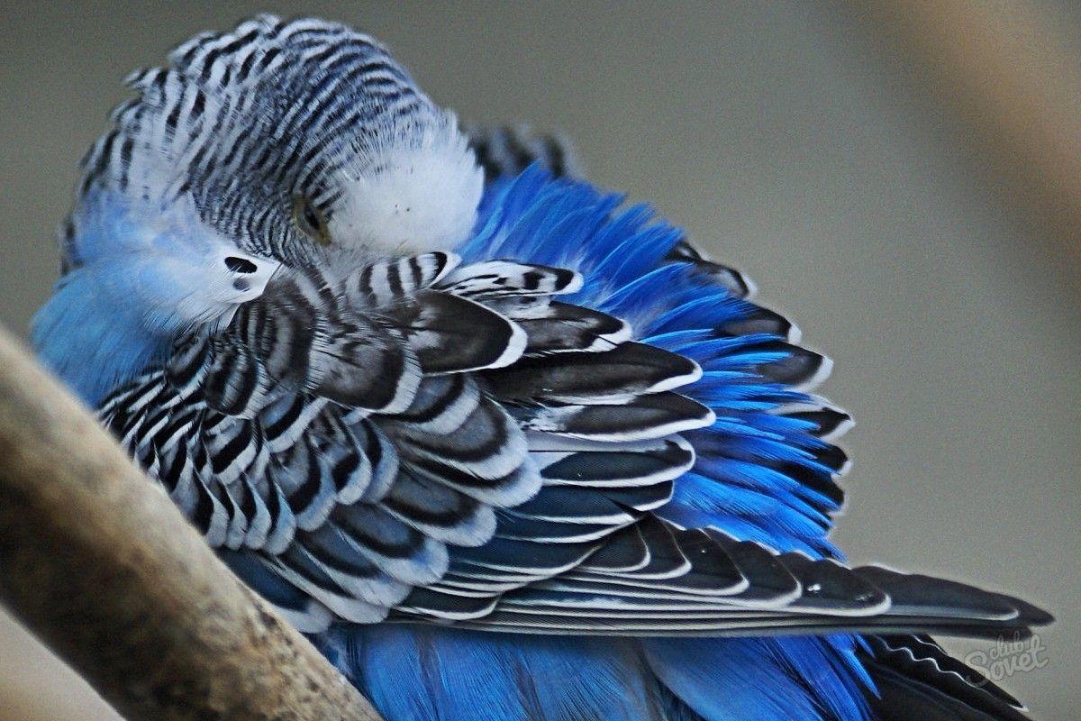 Для мамочки, картинки с попугайчиками волнистыми голубыми