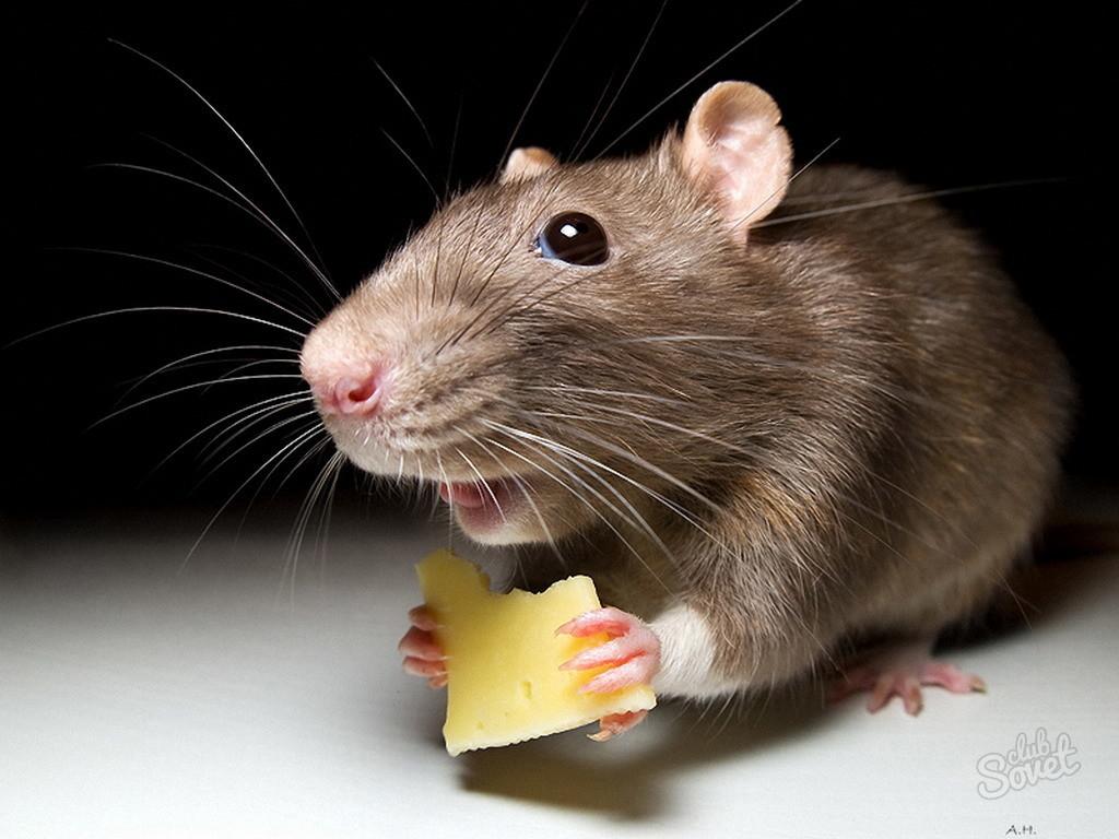 У крысы в зубах мышь сонник