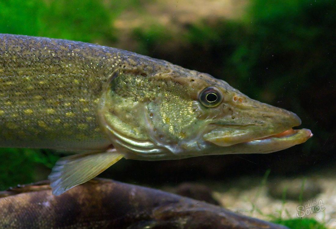 влади картинки рыб окуня щуки двух