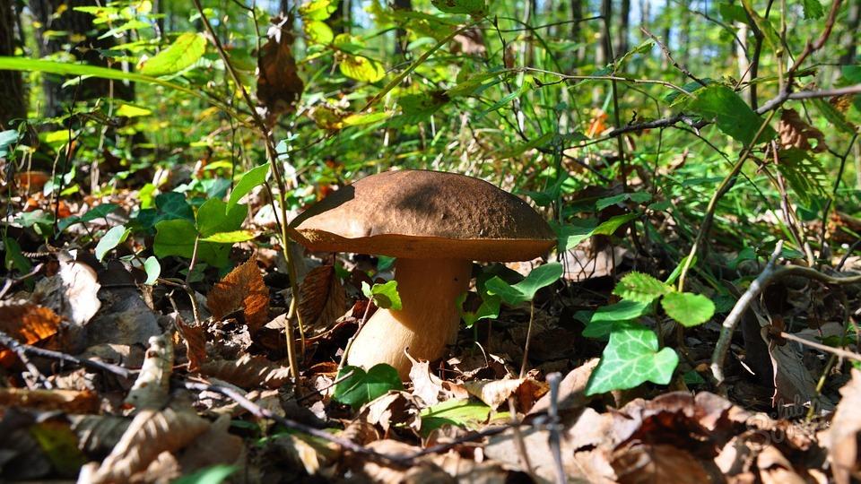 Сонник собирать белые грибы во сне